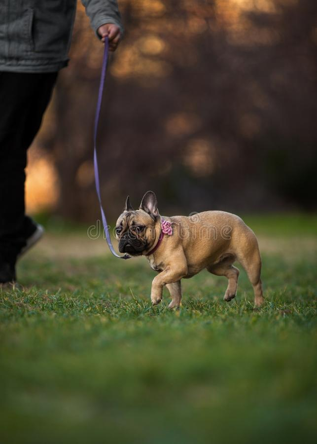 Adoreable Nine Months Old Purebred French Bulldog at Park stock photography