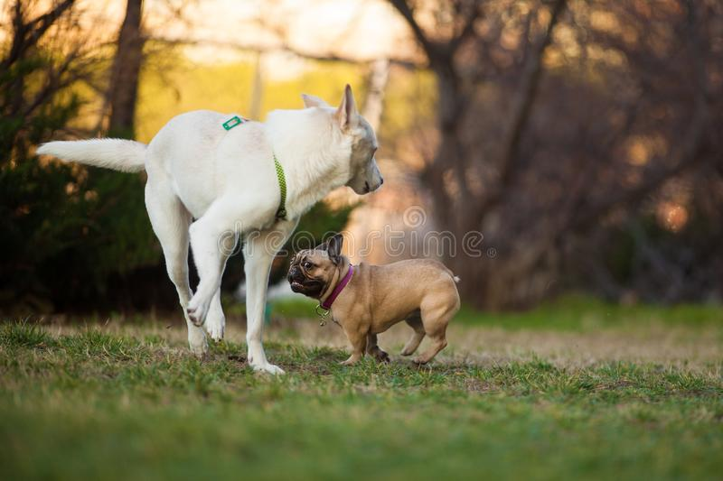 Adoreable Nine Months Old Purebred French Bulldog at Park royalty free stock images
