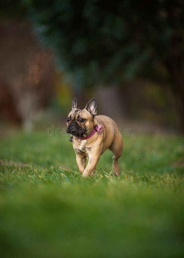 Adoreable Nine Months Old Purebred French Bulldog at Park stock images