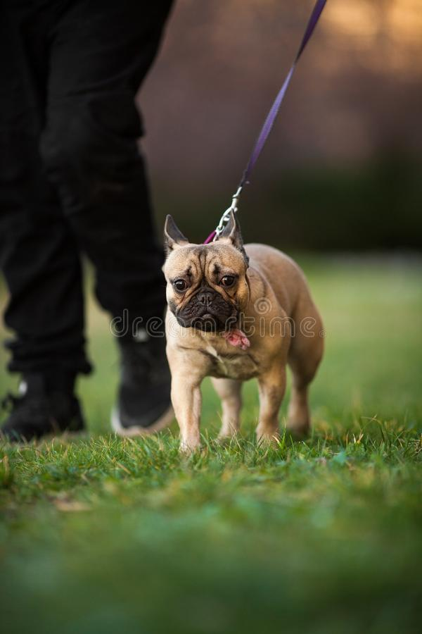 Adoreable Nine Months Old Purebred French Bulldog at Park royalty free stock photography