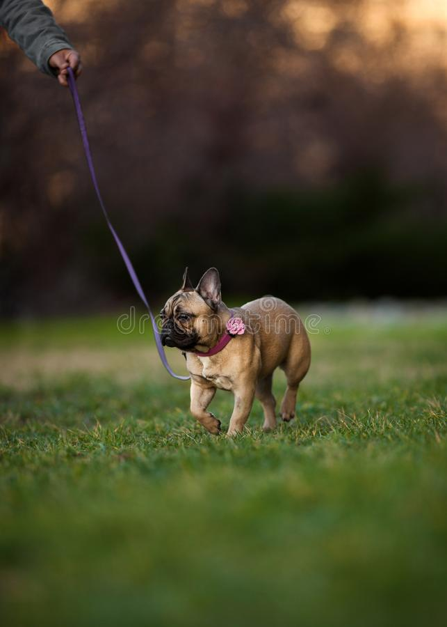 Adoreable Nine Months Old Purebred French Bulldog at Park stock photos