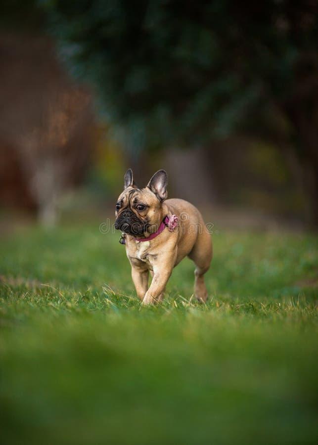 Adoreable nove mesi del bulldog francese di razza al parco immagini stock