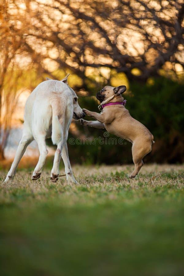 Adoreable nove mesi del bulldog francese di razza al parco fotografie stock