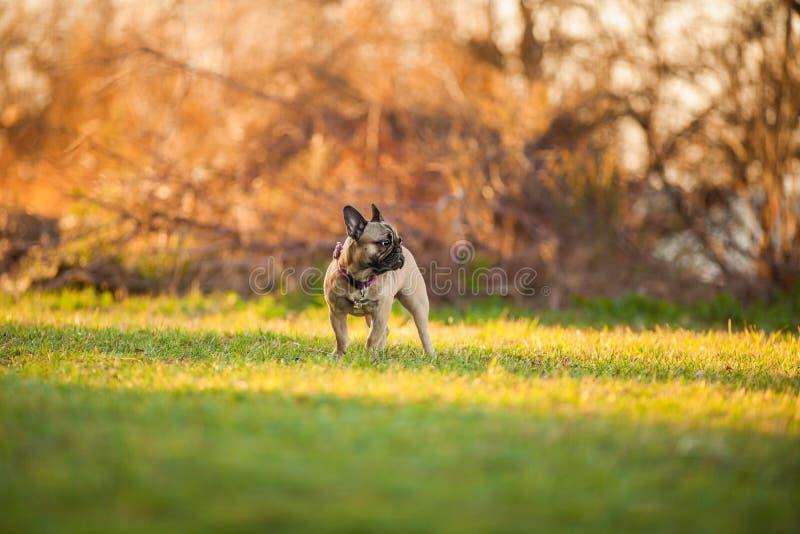 Adoreable nove mesi del bulldog francese di razza al parco fotografia stock libera da diritti