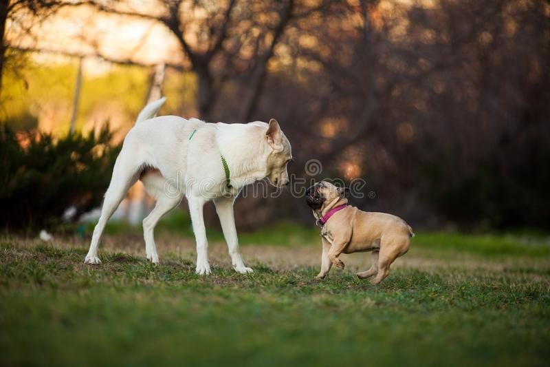 Adoreable nove mesi del bulldog francese di razza al parco fotografia stock