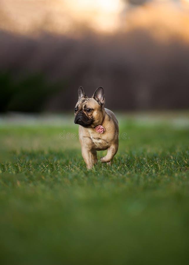 Adoreable nove mesi del bulldog francese di razza al parco fotografie stock libere da diritti