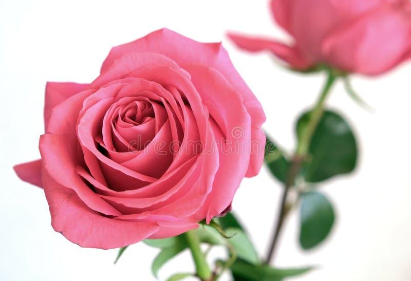 Adoucissez la fleur de rose de rose sur la tige verte d'isolement sur la vue blanche de plan rapproché de fond photographie stock libre de droits
