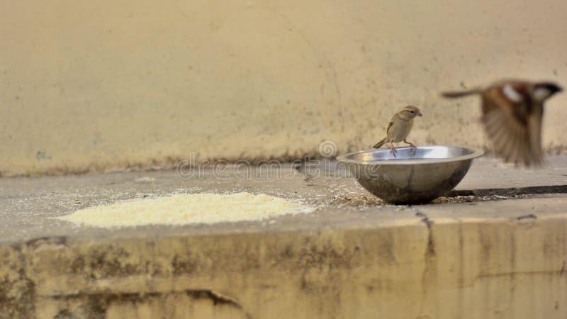 Adra i woda dla Domowych wróbli obraz stock
