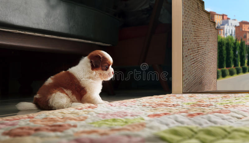 Adrable baby shih tzu puppy dog sitting in front of home door an. D looking to out side royalty free stock photos