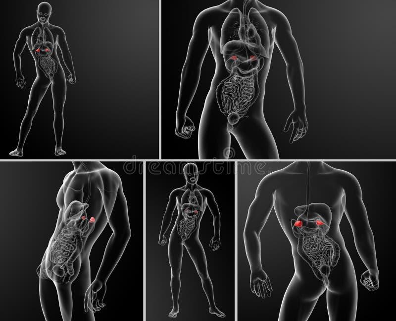 adrenal anatomia royalty ilustracja