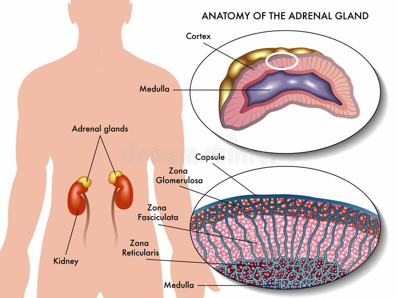 Adrenal gland stock vector. Illustration of glucose, endocrine ...