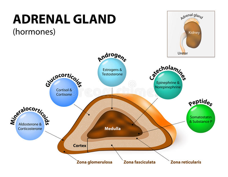 Adrenal gland hormone secretion vector illustration