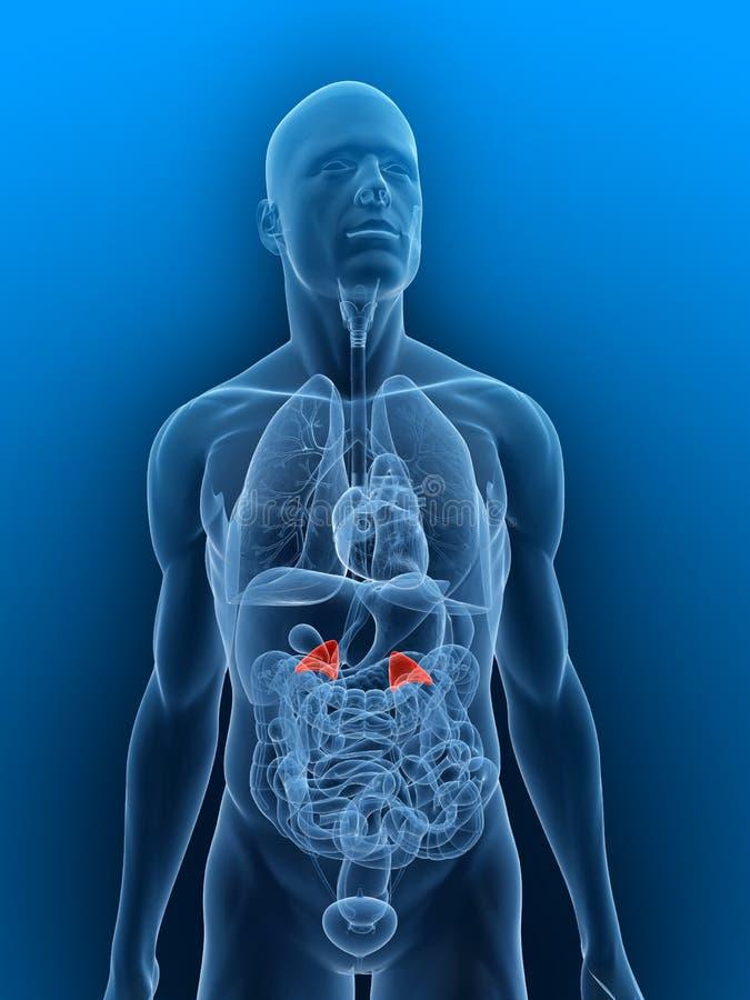 Adrenal glands vector illustration