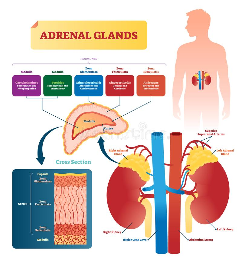 Free Adrenal Glands Vector Illustration. Labeled Scheme With Hormones Types Stock Images - 130685644