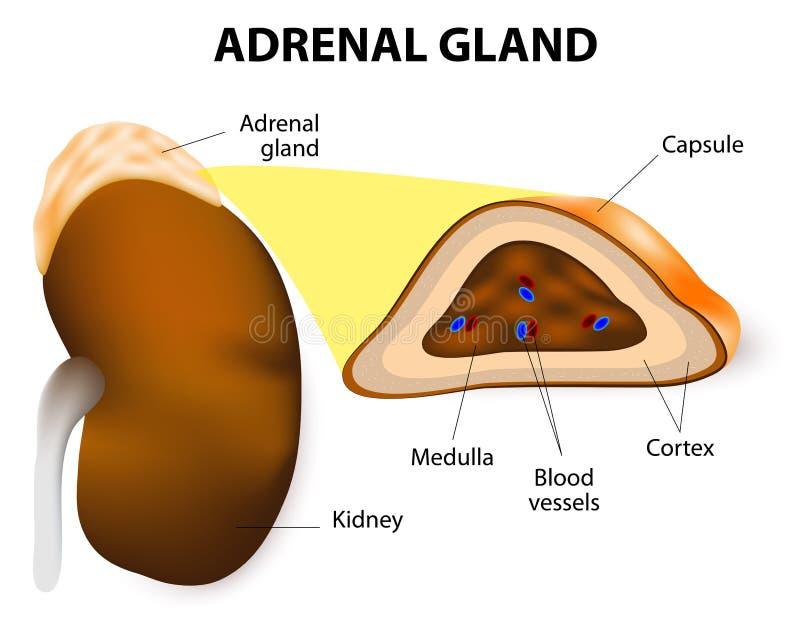 Adrenal gruczoł ilustracja wektor