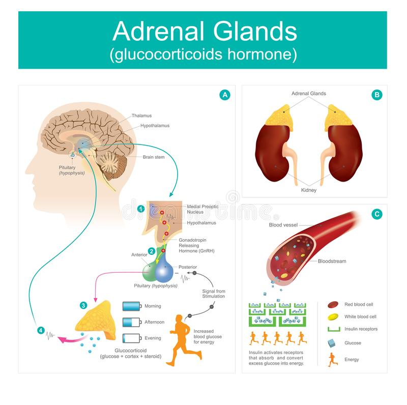 Adrenal gruczołu glucocorticoids hormon royalty ilustracja