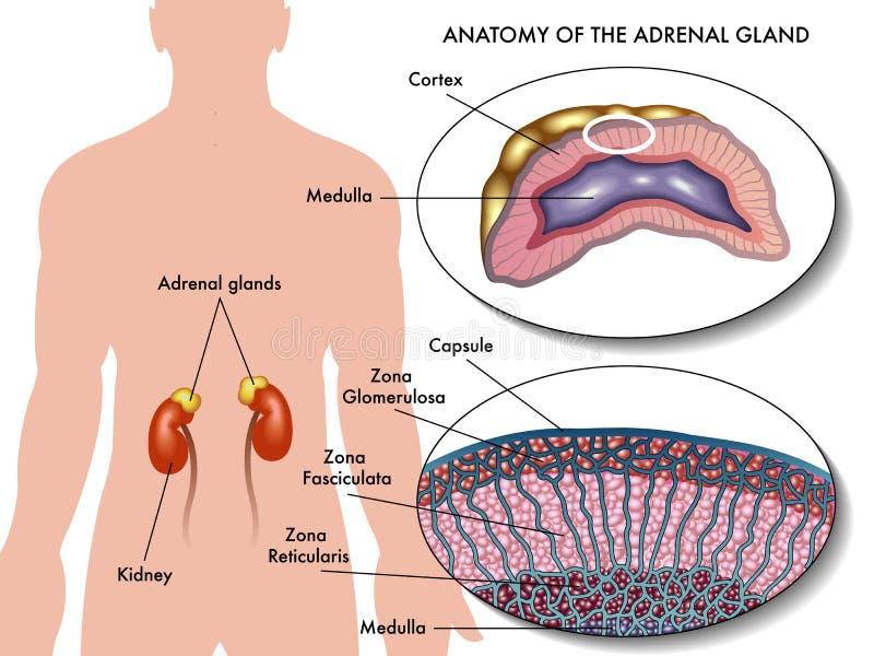 Adrenal körtel stock illustrationer