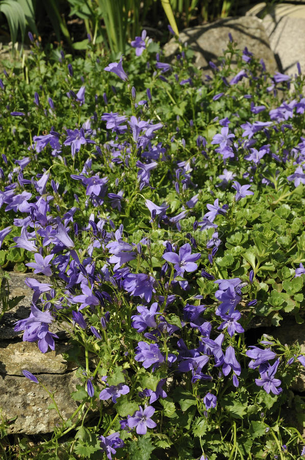 Download Adria Bellflower - Campanula Portenschlagiana Stock Images - Image: 15082484