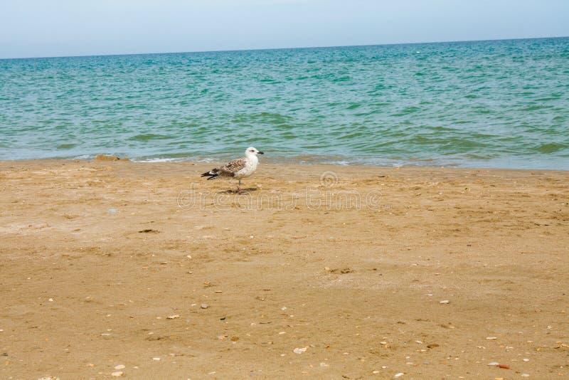 Adriatische overzeese kustmening Kust van Italië, de zomer zandige strand en zeemeeuw stock afbeelding