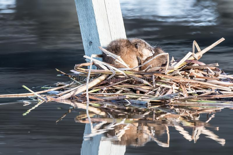 Adrift on a bed of reeds stock image