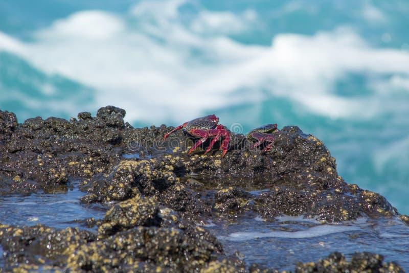Adscensionis de Grapsus dos caranguejos de rocha atlânticos em rochas molhadas fotos de stock royalty free