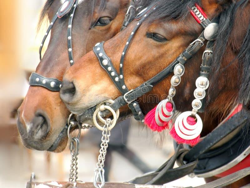 Adulazione del cavallo immagini stock