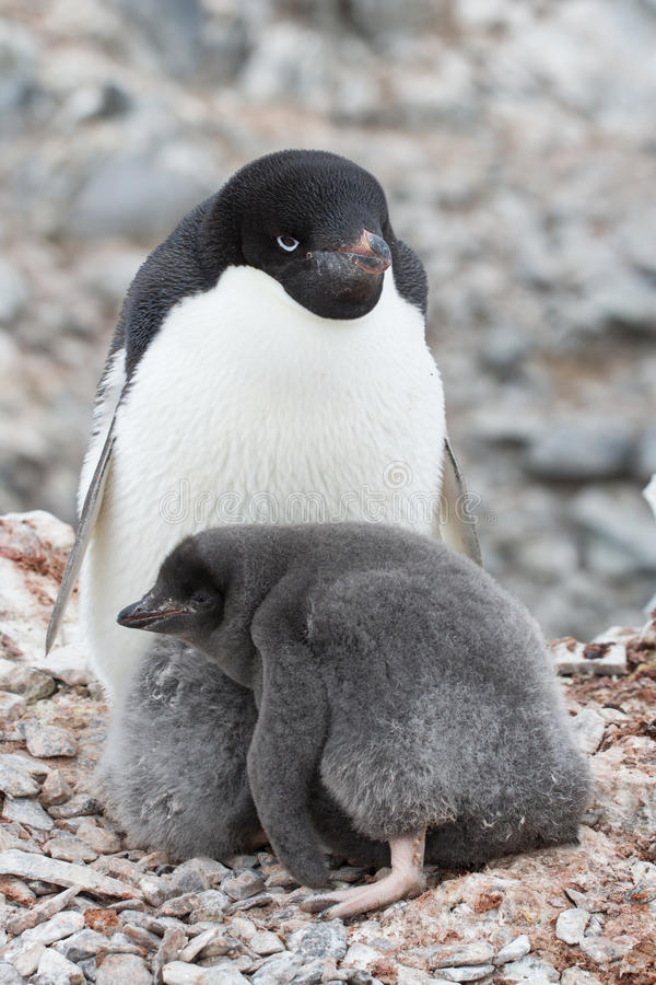 Adult Adelie penguin and chicks sitting in nest royalty free stock photography