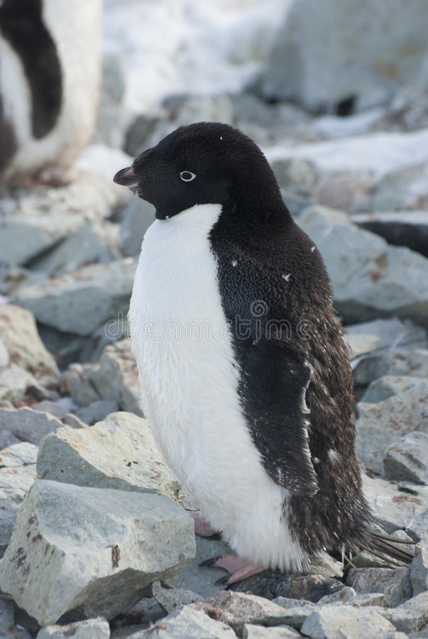 Adult Adelie penguin, which molt. stock images