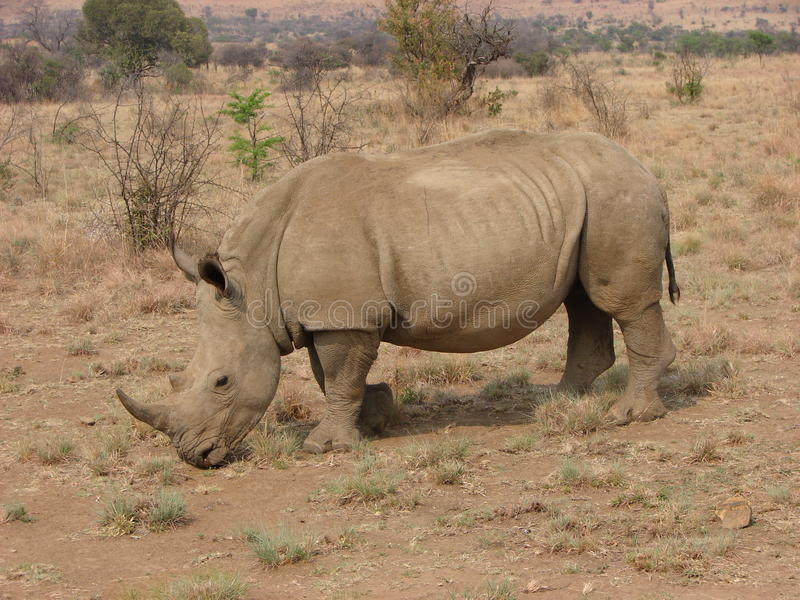 Adult African White Rhino. An adult african white rhino grazing on grass stock image