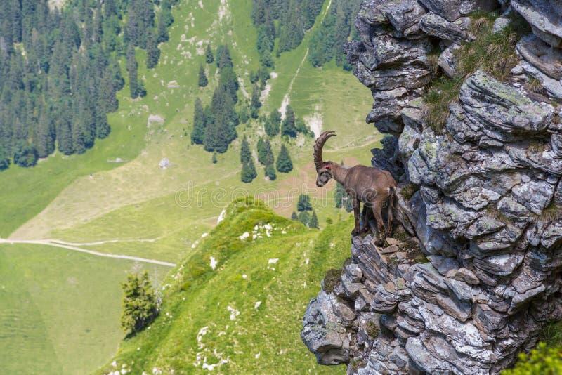 Adult alpine capra ibex capricorn standing on rock with valley v. Adult natural alpine capra ibex capricorn standing on rock with valley view royalty free stock photo
