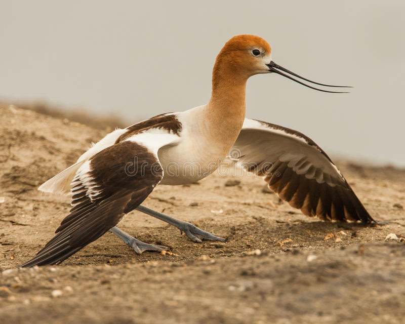 Adult American Avocet. In Breeding Plumage Feigning Injury stock image