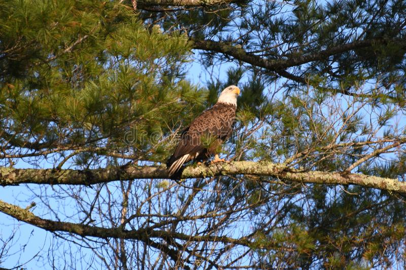 Adult American Bald Eagle. American Bald Eagle perched in tree stock photo