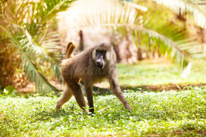 Adult Anubis baboon walking in African savannah. Portrait of adult Anubis baboon walking alone in African savannah royalty free stock images