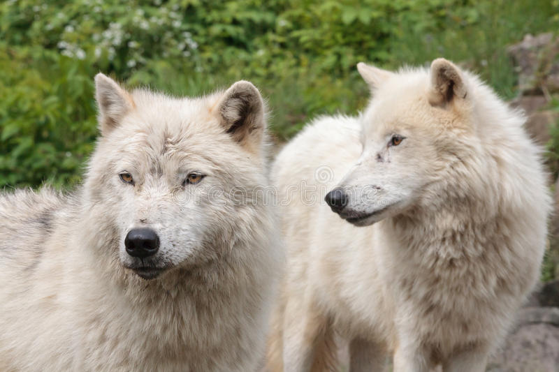 Adult arctic wolves. Adults arctic wolves in summer stock image