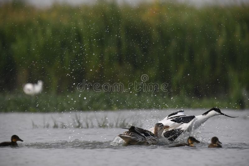 The adult avocet is attacking the little ducks to defend his own jung royalty free stock photography