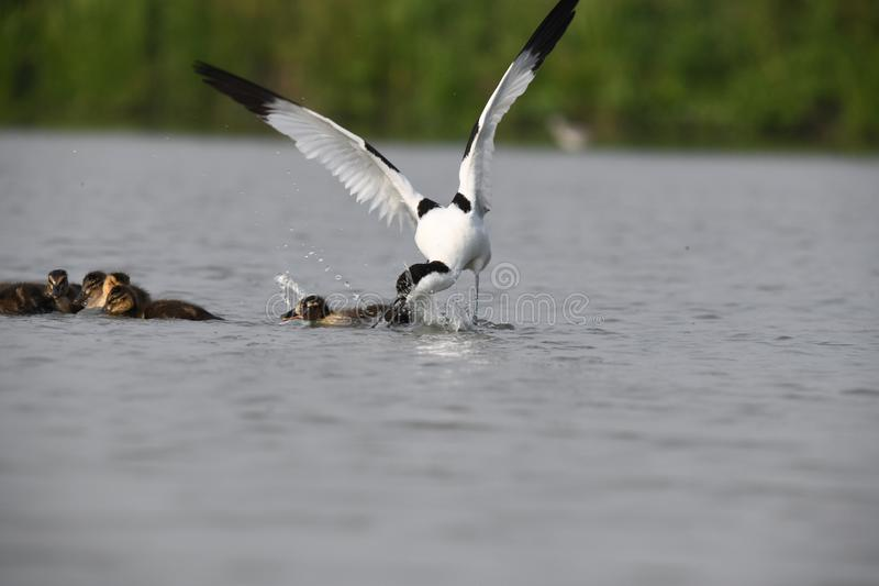 The adult avocet is attacking the little ducks to defend his own jung stock photo