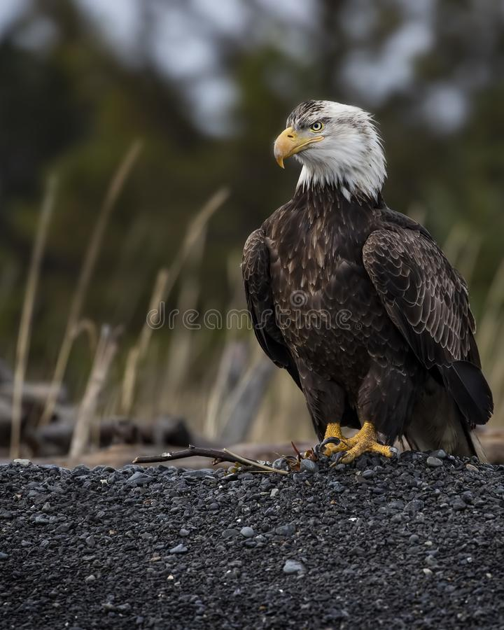 Adult Bald Eagle standing guard on the beach royalty free stock image