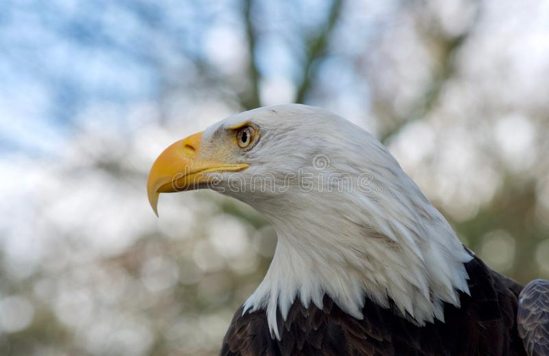 Adult bald eagle stares to its right showing off its sharp yellow beak. And intense stare. Blurred trees in the background royalty free stock photography