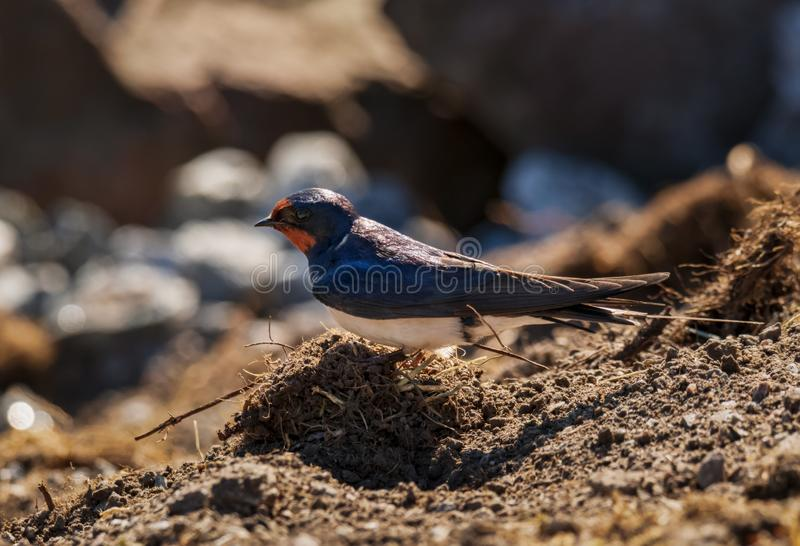 Adult barn swallow searching for nesting material royalty free stock photos