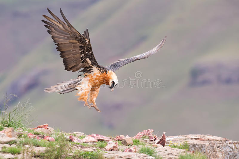 Adult bearded vulture landing on a rock ledge royalty free stock photos