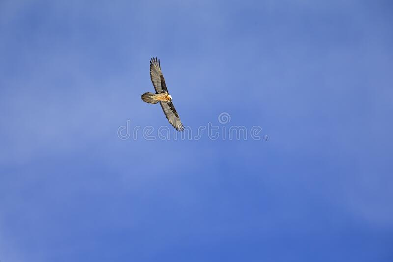 An adult Bearded vulture soaring at high altitude infront of a blue sky in the Swiss Alps. royalty free stock photography