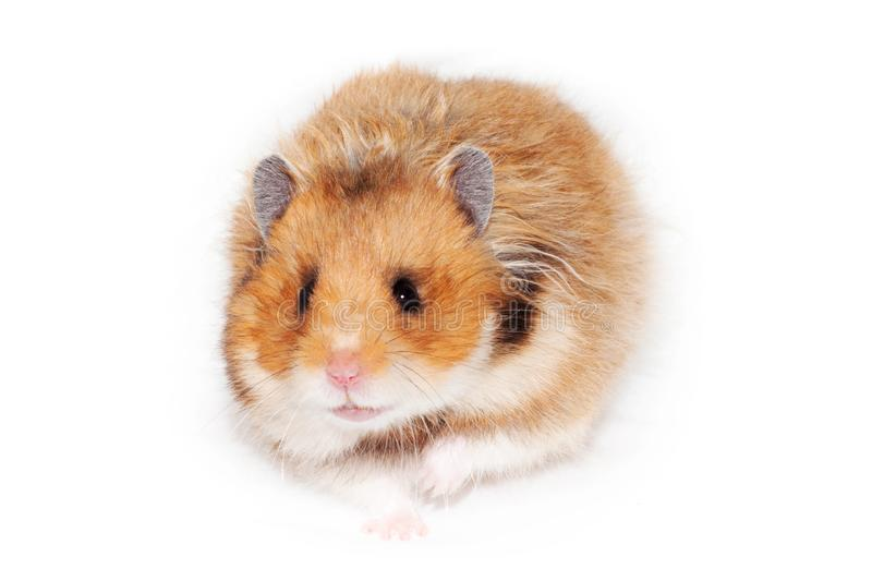 Adult beautiful Syrian hamster goes forward. stock images