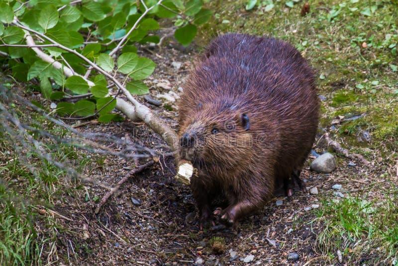 Adult Beaver. Dragging Birch Branch Along Trail At Horseshoe Lake, Denali National Park and Preserve, Alaska royalty free stock image