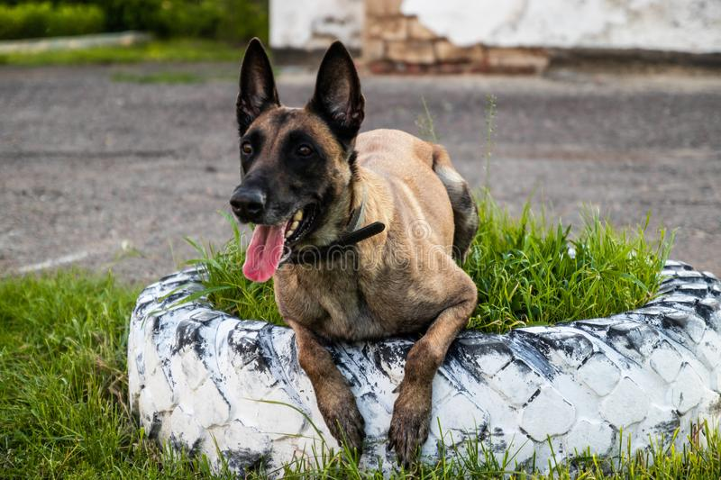 Adult belgian shepherd dog lies on the grass and rests on a summer day. Training and training concept. Portrait of adult belgian shepherd dog lies on the grass royalty free stock photo