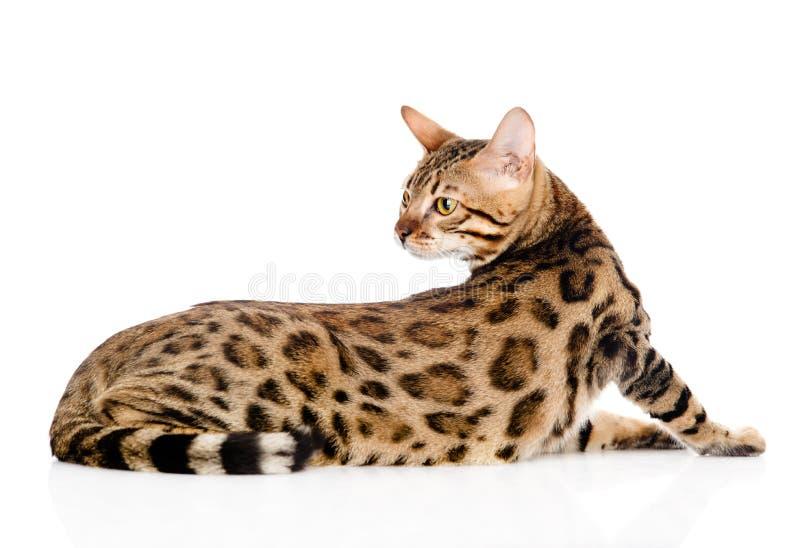 Adult Bengal cat looks back. isolated on white background stock photos