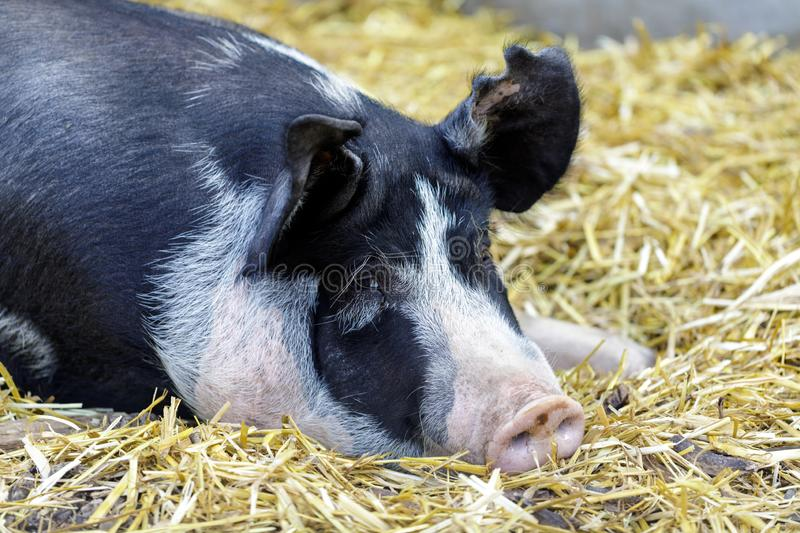 Adult Berkshire Pig resting in a barn. royalty free stock images