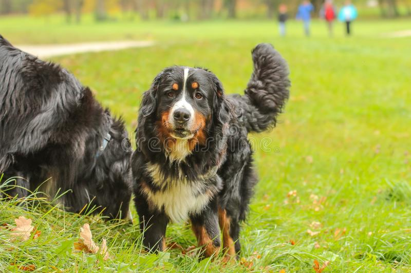 Adult Bernese Mountain dog standing on meadow royalty free stock photos