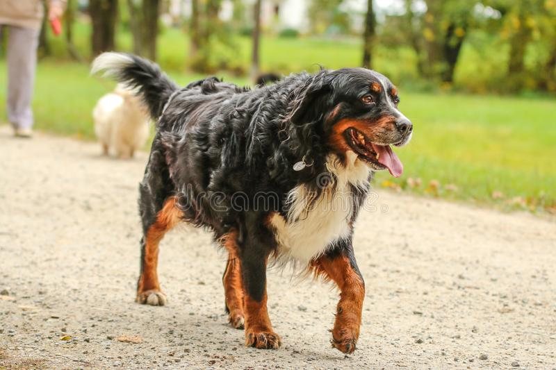 Adult Bernese Mountain dog walking royalty free stock images