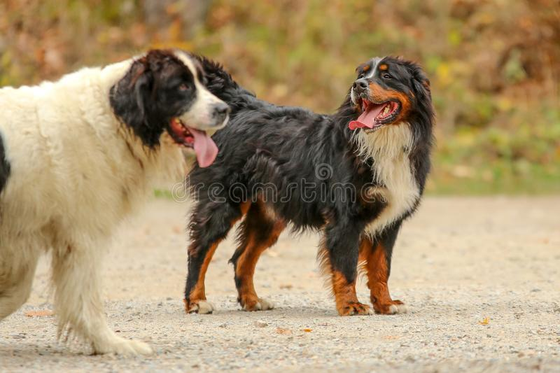 Adult Bernese Mountain dog walking stock images