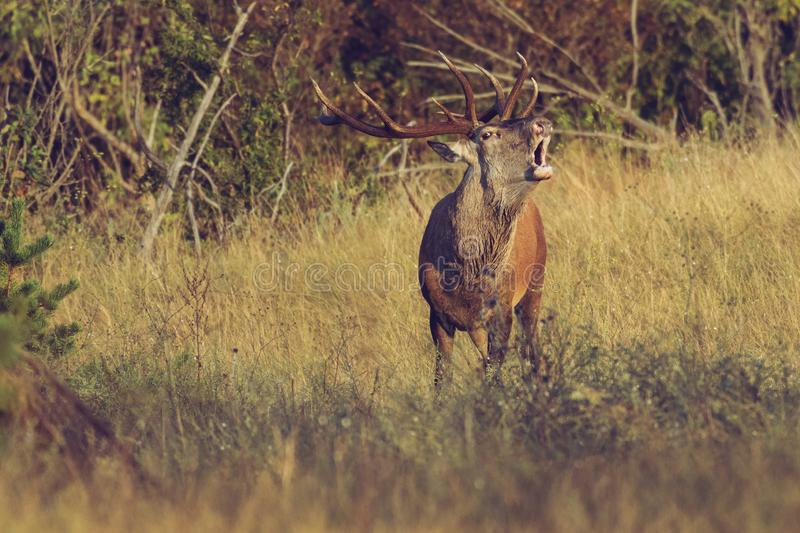 Adult male Red Deer roaring in natural environment during annual rut. stock images